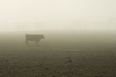 01 mgła bydła Obrazy Royalty Free