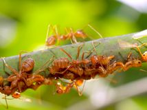 01 mrówka Obrazy Royalty Free