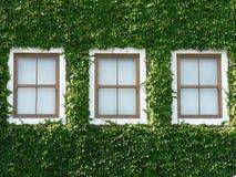 01 murgrönafönster Arkivbilder