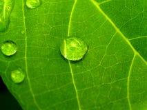 01 roślinnych liści Obrazy Stock