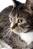 01 tabby портрета кота 09 бабочек Стоковое Изображение