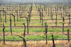 01 wineyard Obraz Stock