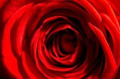 01 zbliżenia czerwień wzrastał Obraz Stock