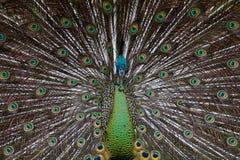 01 zielony peafowl Fotografia Royalty Free