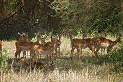 012 ζώα gazelle Στοκ Εικόνες