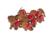 014 κουτάβια dachshund Στοκ Φωτογραφία