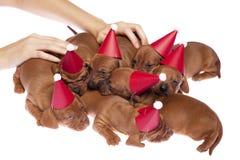015 κουτάβια dachshund Στοκ Εικόνες