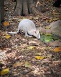 0155a albino tammar wallaby IMG Στοκ Εικόνα