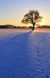 018棵橡木现出轮廓的多雪的日落 库存图片