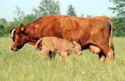 02个小牛母牛年轻人 免版税库存图片