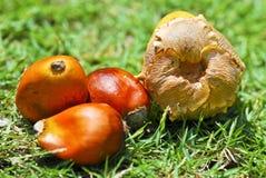 02个油棕榈树种子系列 库存图片