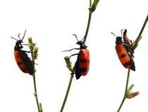02只甲虫联系 库存照片