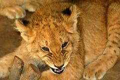 02崽狮子 库存照片