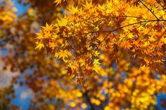 02日本京都槭树 库存图片