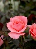 02朵桃红色玫瑰 免版税库存照片