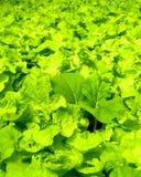 02水耕的蔬菜 库存照片