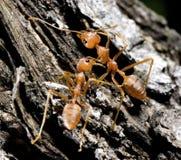 02蚂蚁 免版税库存图片