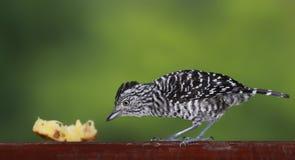 02鸟加勒比多巴哥 库存照片