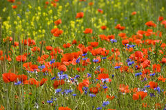 image photo : Poppies 02