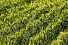 02麦子 免版税库存图片
