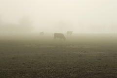 02 βοοειδής ομιχλώδης Στοκ Φωτογραφίες