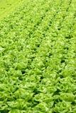 02 υδροπονικά λαχανικά γε&om Στοκ Φωτογραφία