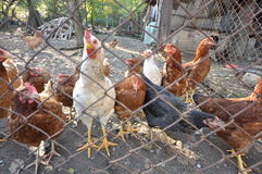 鸡02 免版税库存照片