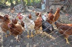 鸡02 免版税库存图片