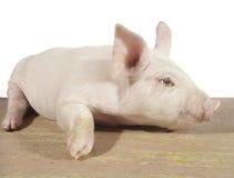 02猪 免版税库存照片