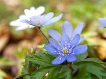 02 błękitny kwiat Obraz Stock
