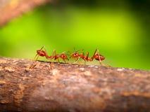 02 czerwone mrówki Obrazy Stock