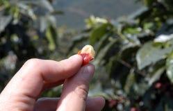 02 fasoli Guatemala drzewo kawy Obrazy Royalty Free