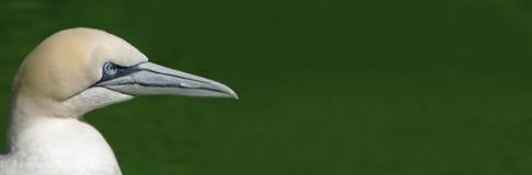 02 gannet Zdjęcie Royalty Free