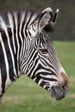 02 grevy зебра портрета s Стоковая Фотография RF