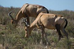 02 - Hartebeest vermelho Imagem de Stock Royalty Free