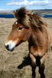 02 icelandhorse 免版税库存照片