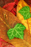 02 jesiennych liści Obraz Royalty Free