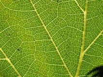 02 liść winogron. Zdjęcia Stock