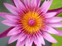 02 lotusblommar Arkivfoton