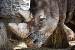 02 rinoceronte Fotografia Stock
