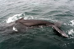 02 wale humpback Zdjęcia Stock