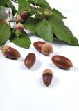 025 acorn omp Obraz Royalty Free