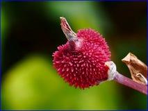 02Feb2019 - fruit of Canna indica royalty free stock photos