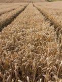 03个夏天麦子 免版税库存照片