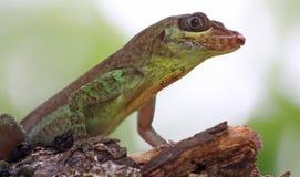 03加勒比蜥蜴多巴哥 库存图片