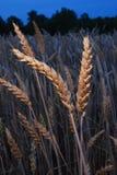 03日落麦子 库存图片