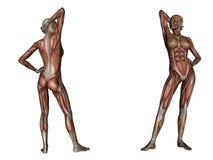 03解剖学 库存例证