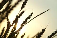 03麦子 免版税库存图片