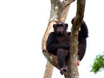 03黑猩猩 免版税图库摄影