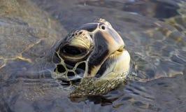 03 żółw Zdjęcie Stock